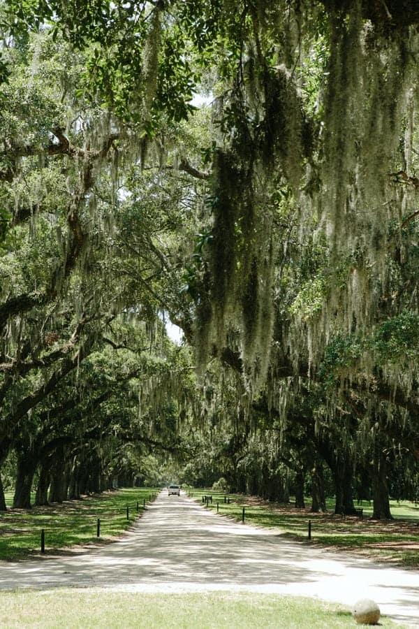 Charleston oak trees in moss