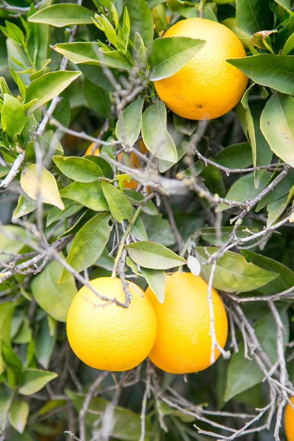 Pixie Orange in Ojai