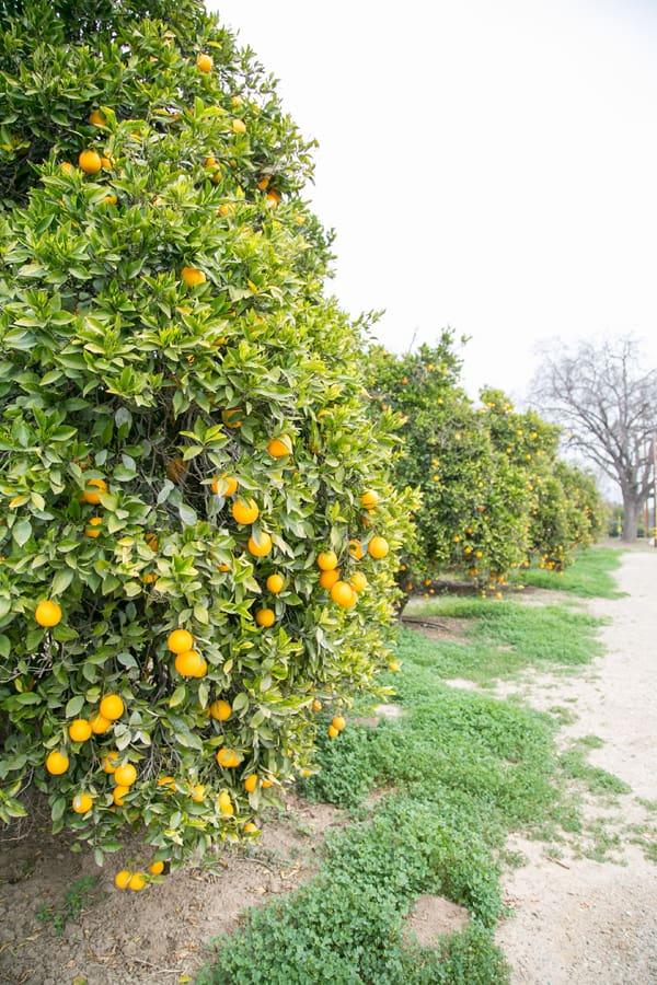 Orange trees in Ojai
