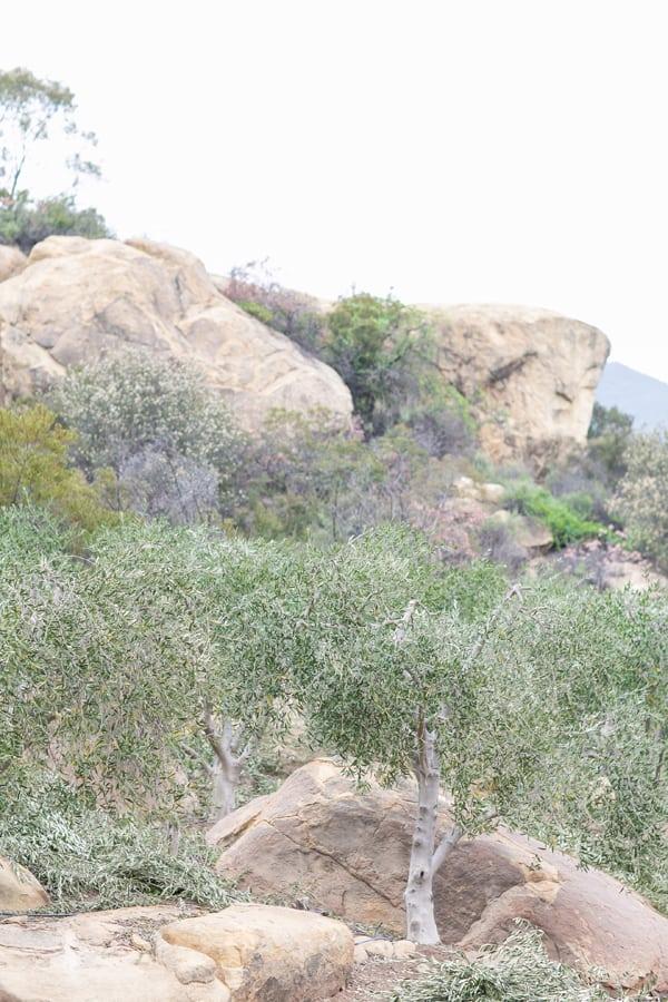 Olive trees in Ojai