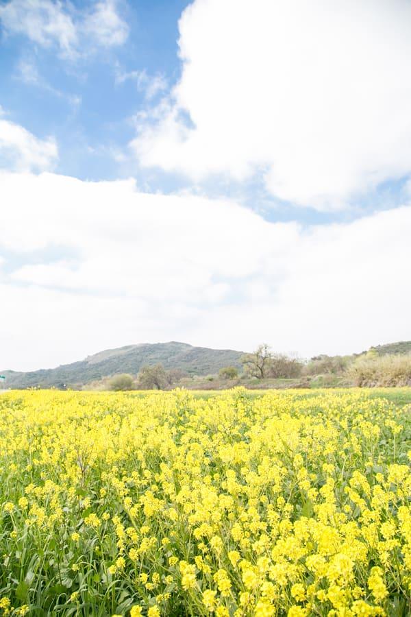 Flower field in Ojai