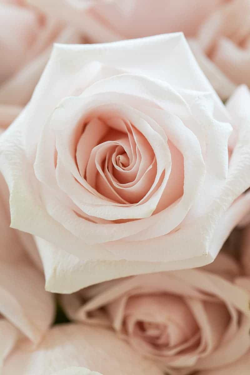 Close up photo of a pink rose.