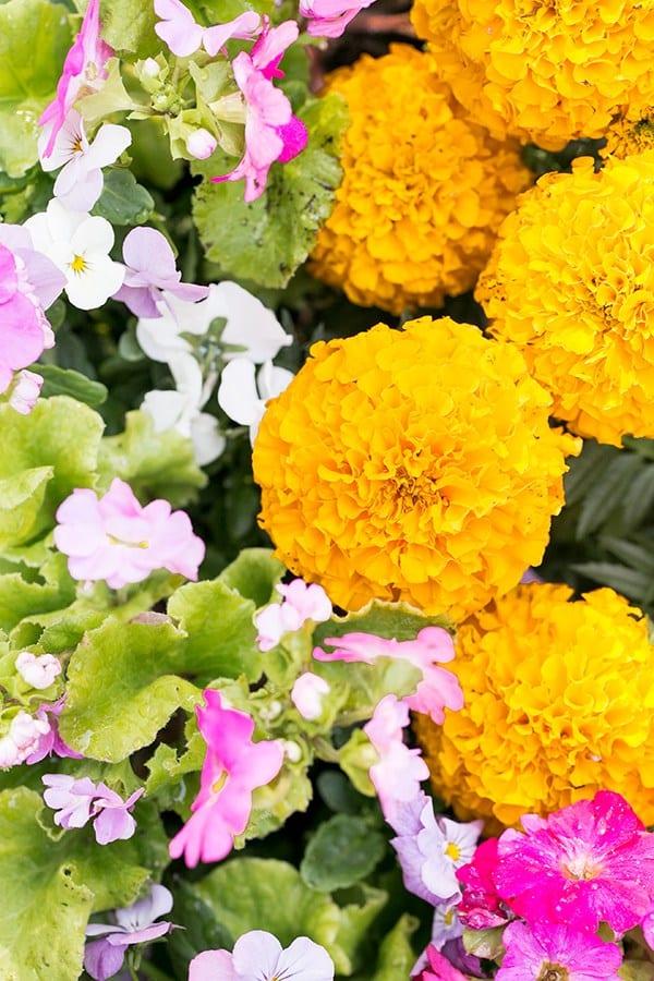 large orange Marigold flowers