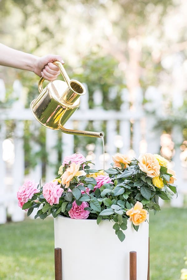 Watering roses with a brass watering can.