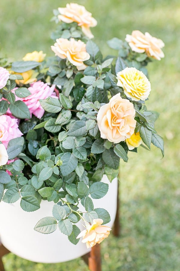 Roses in a white planter.