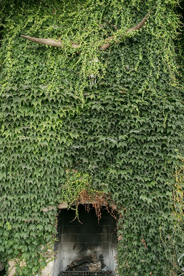 Fireplace covered in ivy.