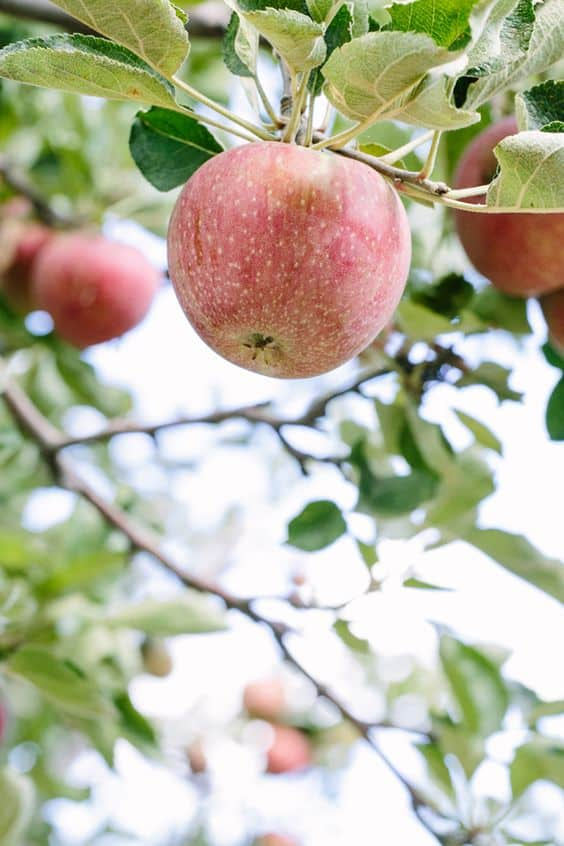 close up of apples for picking