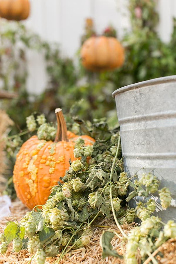 shot of pumpkins