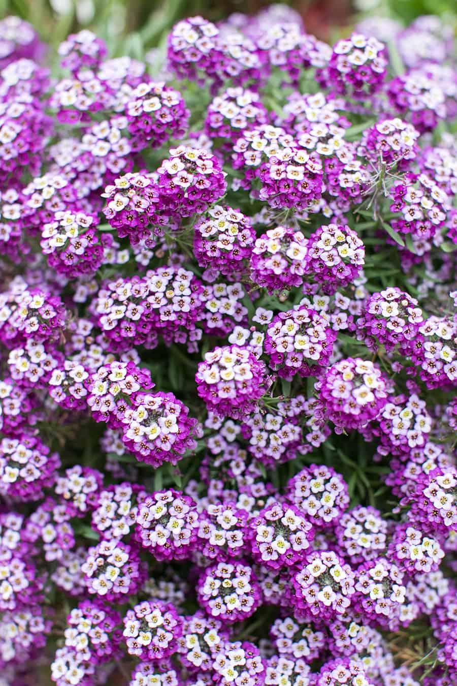 Beautiful purple flowers in Carmel