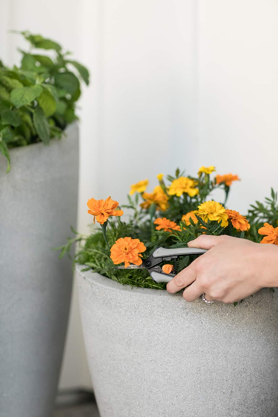 Clipping marigold flowers.