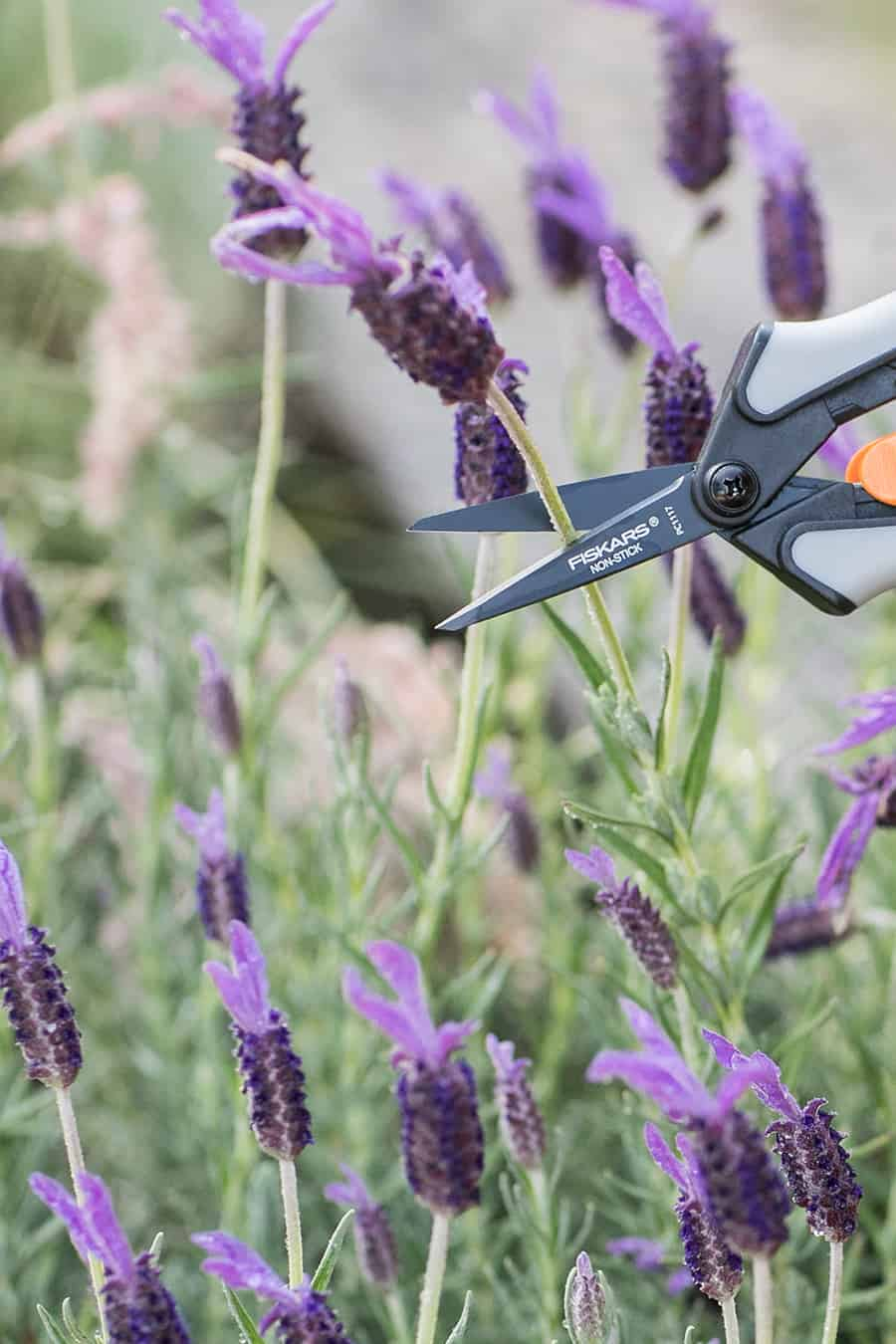 Clipping lavender with a Fiskakers clipper.