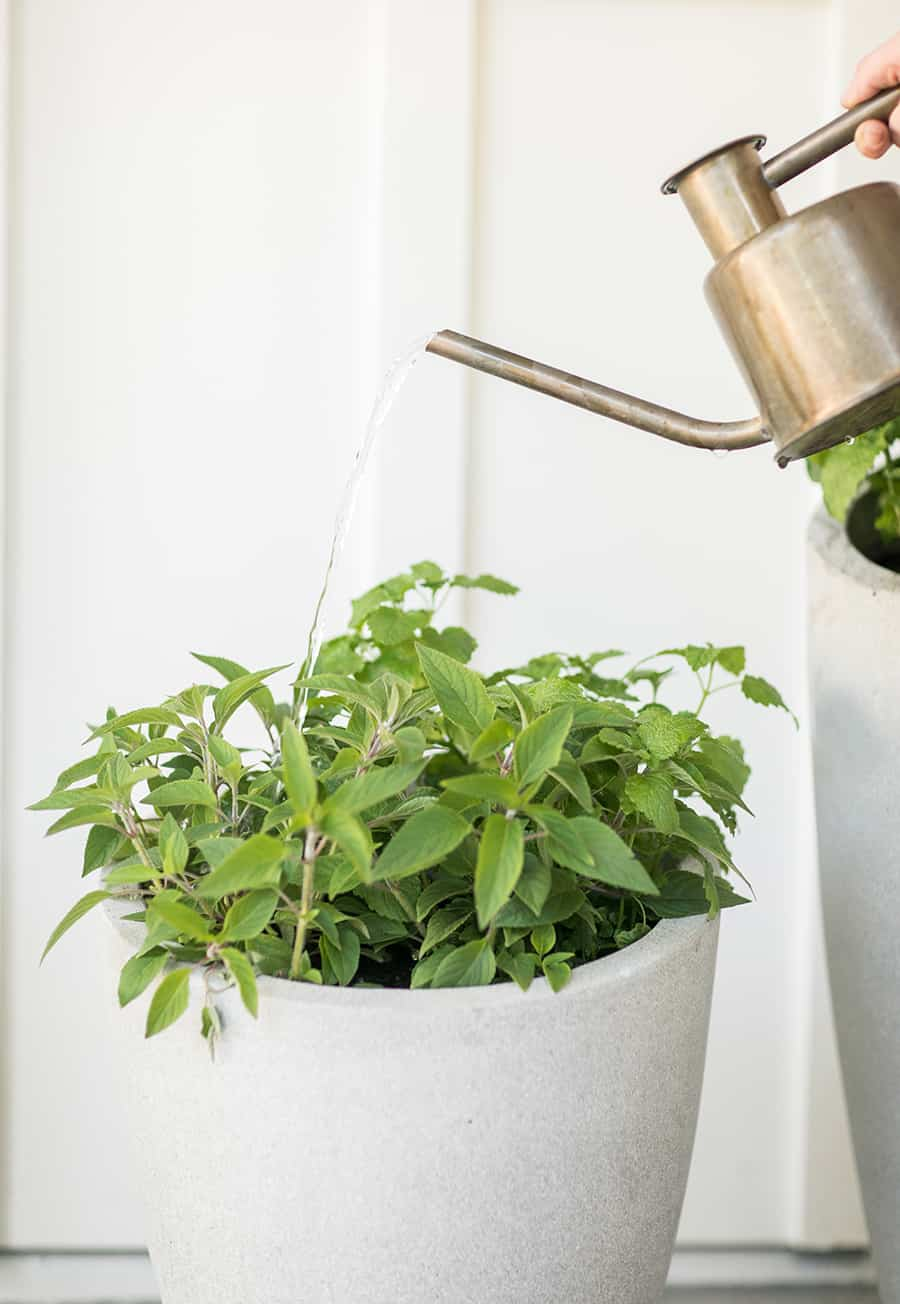 Watering mint and herbs
