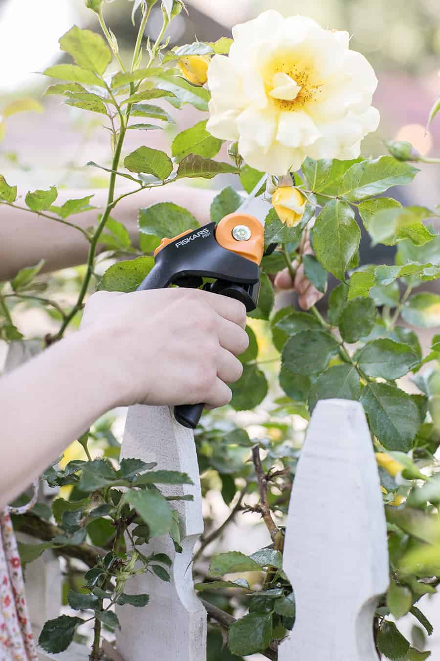 Clipping roses with a Fiskars clipper