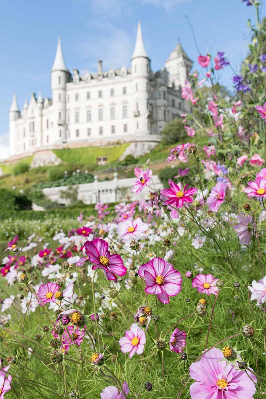 Pink flowers in front of Dunrobin Castle in Scotland.