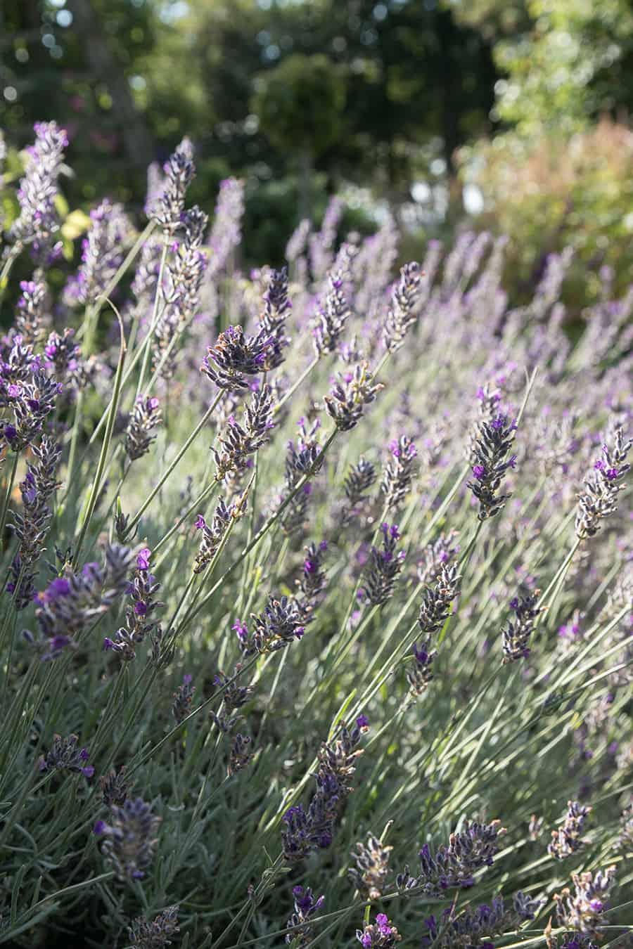 Lavender at Dunrobin Castle