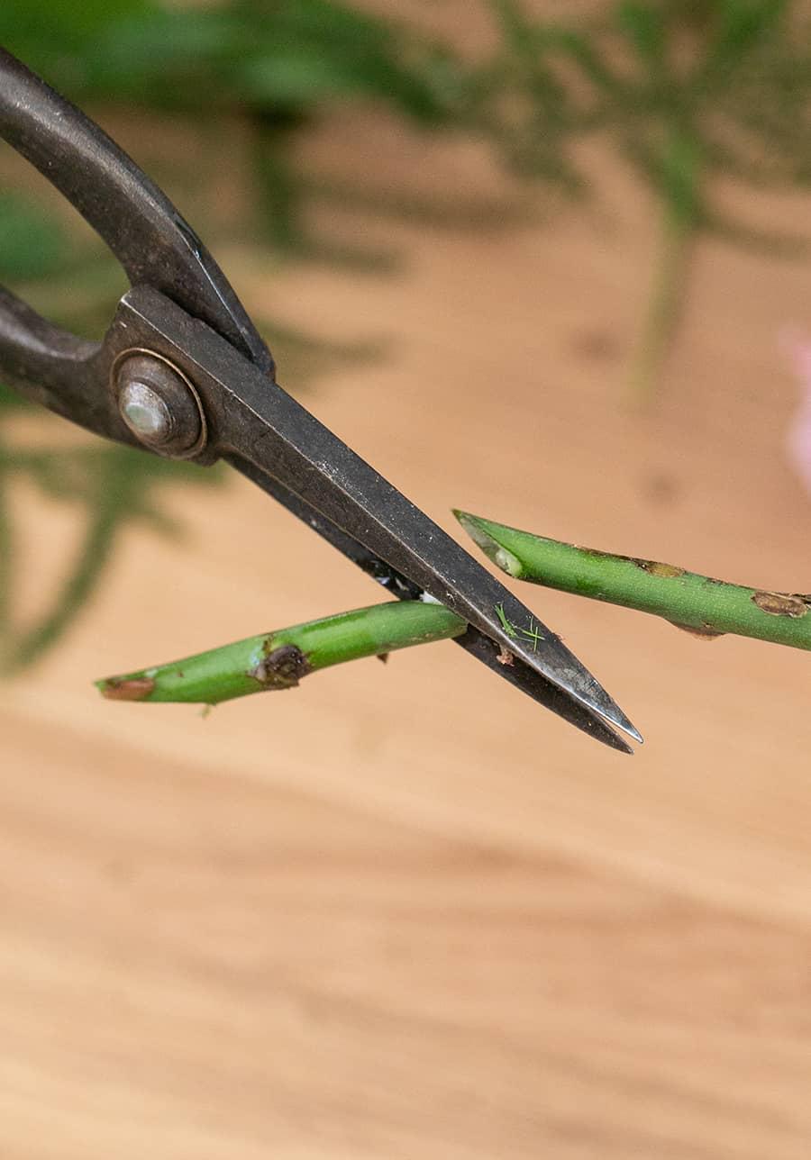 close up of rose stem cut at 45 degree angle