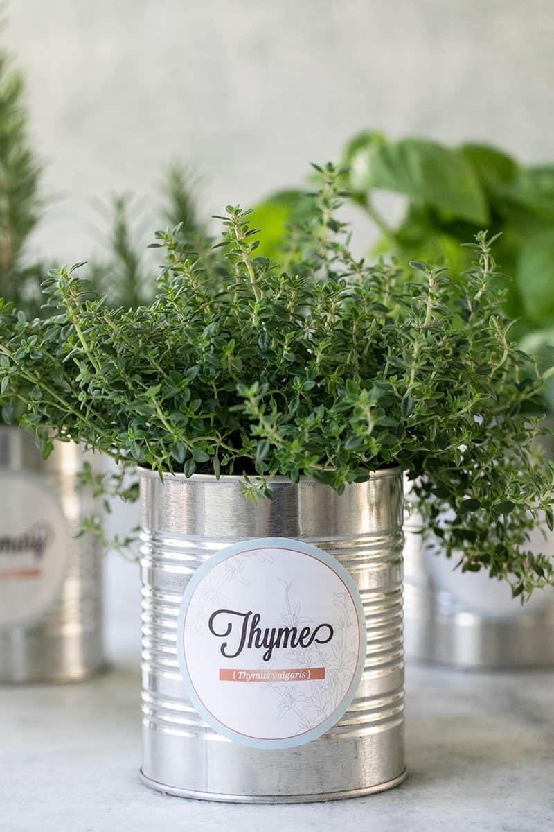Indoor herb garden in tin food cans with a charming label.