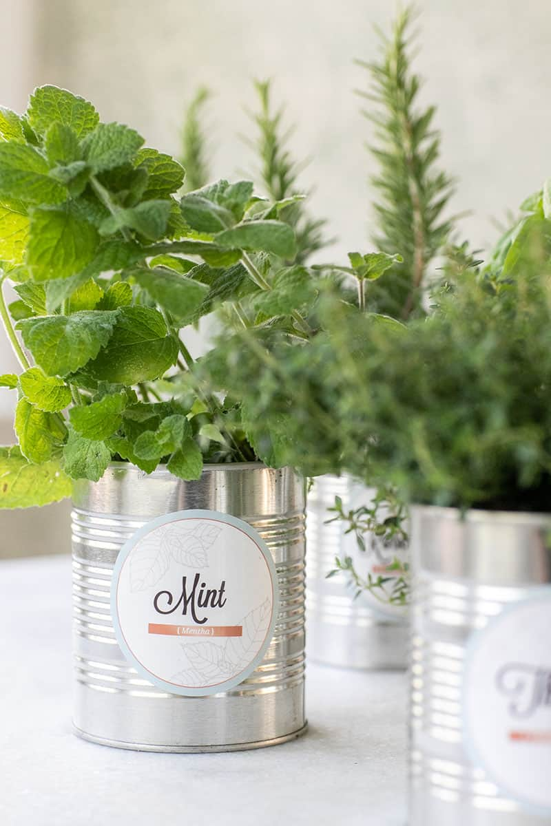 Mint herb in a tin can for a DIY herb garden