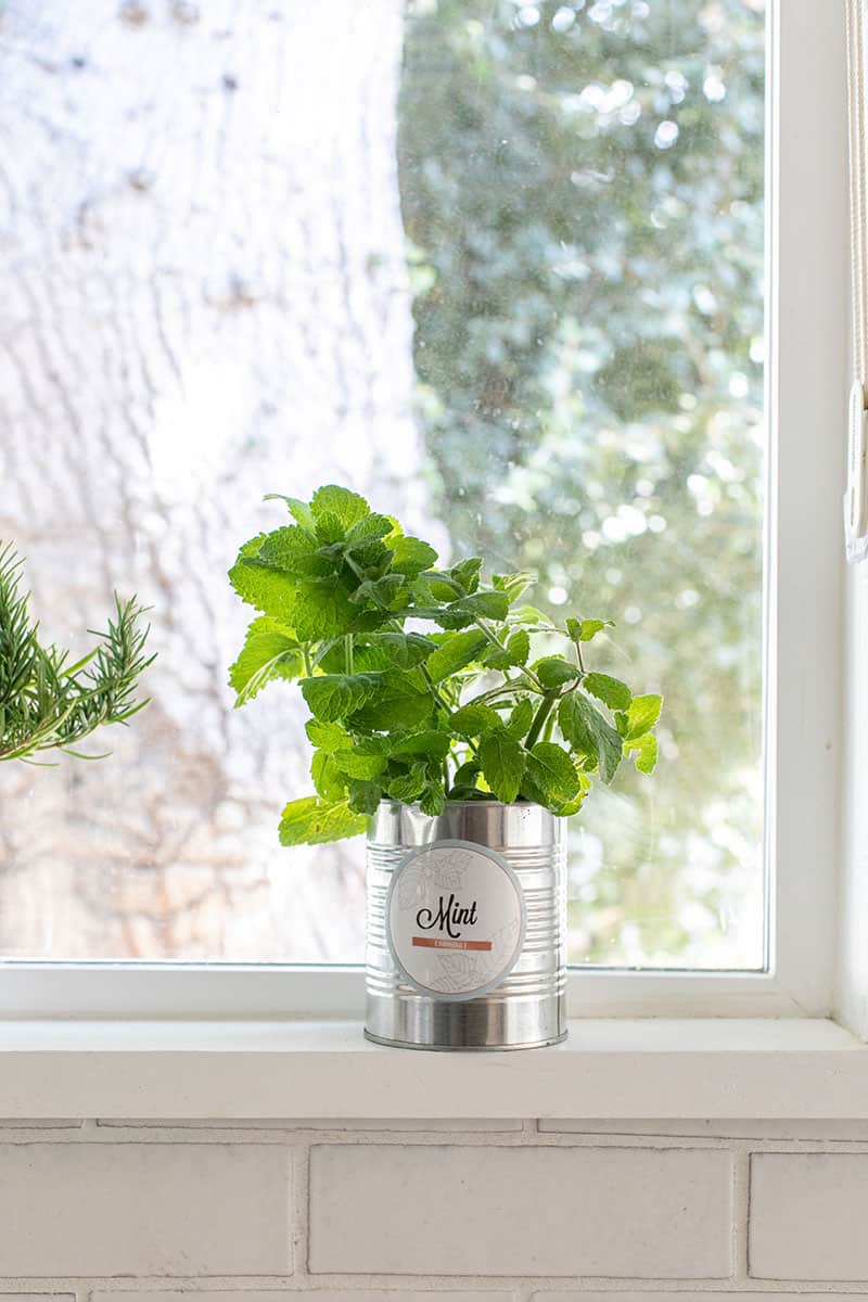 Growing indoor mint in a tin can!