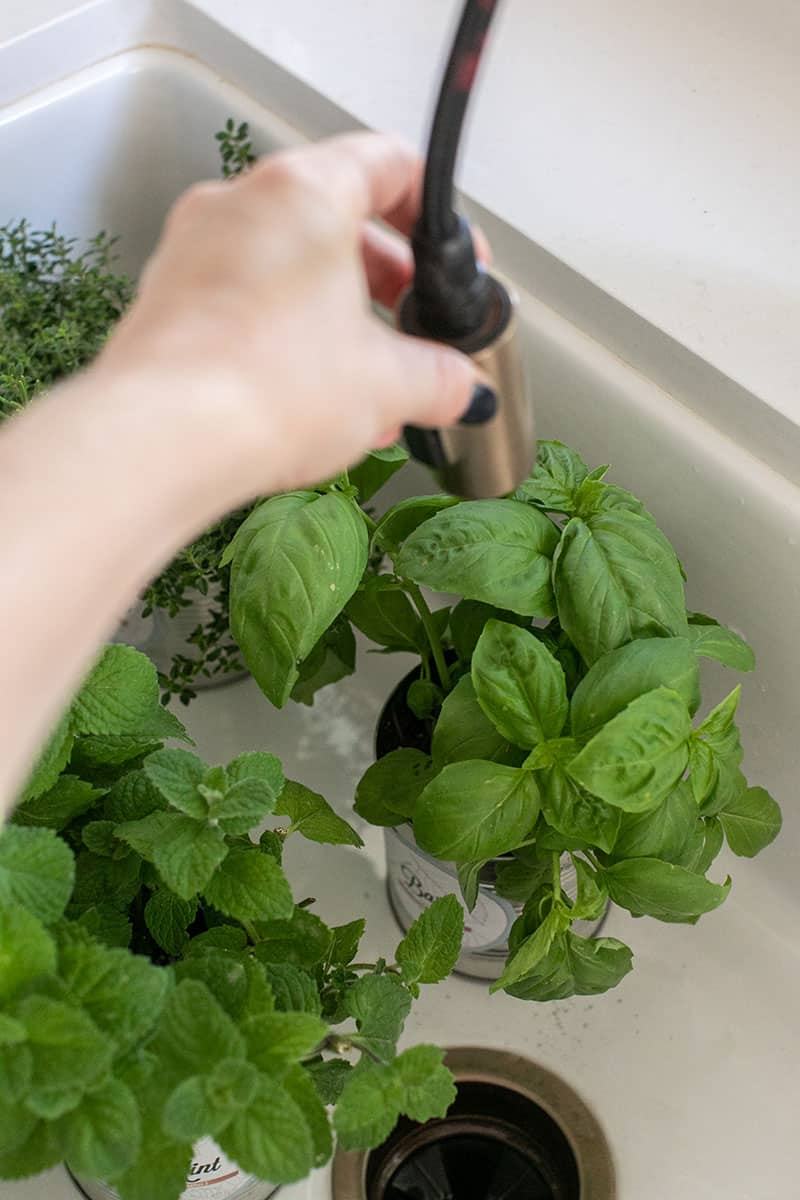 Herbs being washed in a sink