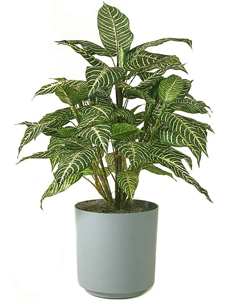 Zebra Plant in green vase