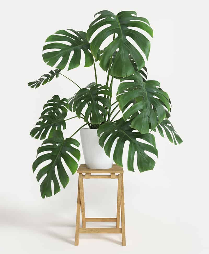 How to take care of a Monstera Deliciosa plant on a stool