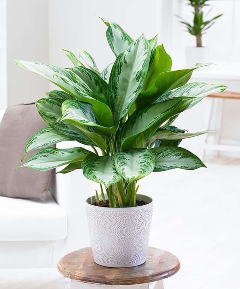 Chinese Evergreen in a white planter on a stool.