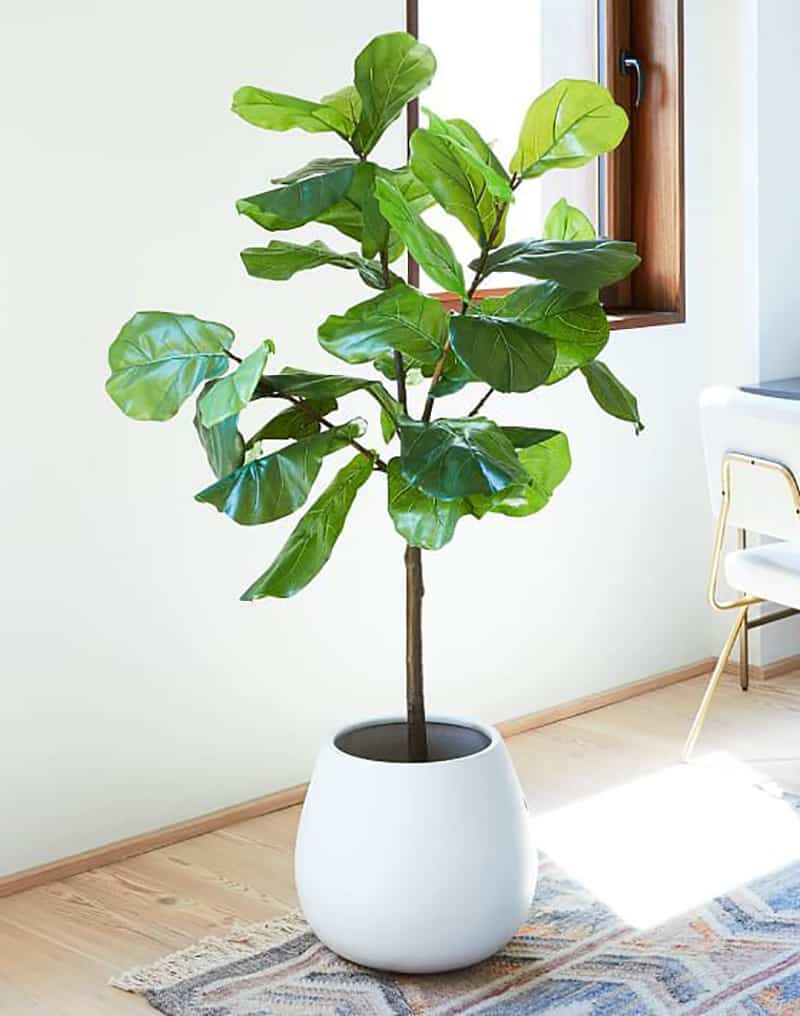 Fiddle Leaf Fig indoor plant in a white pot.