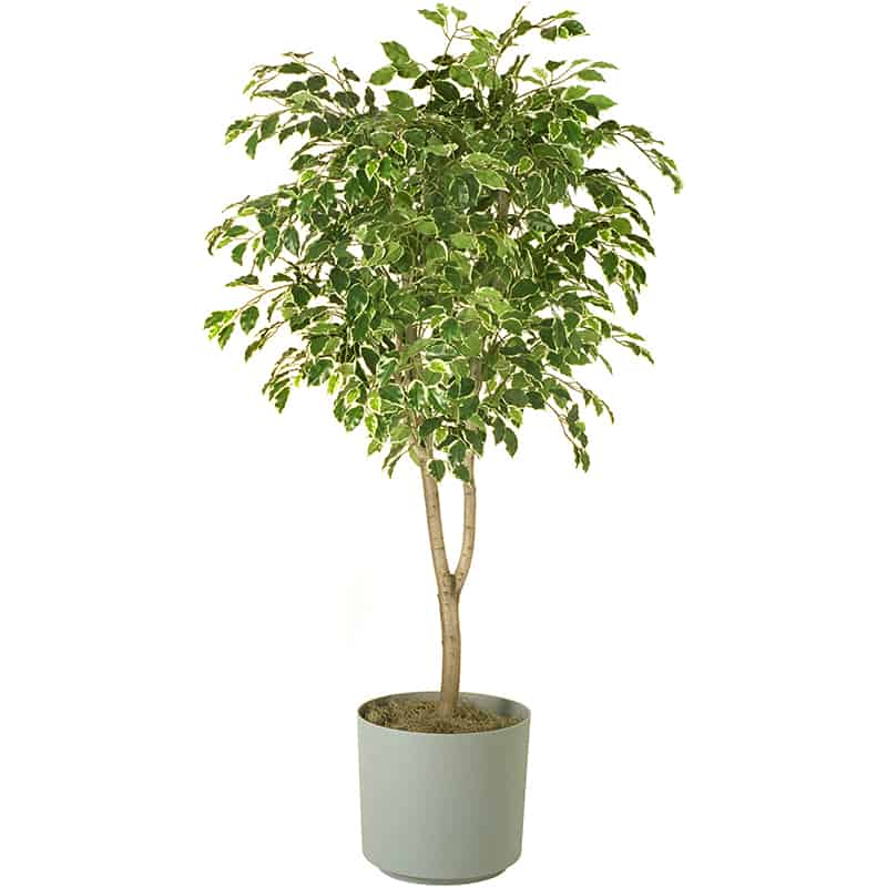 Ficus tree in gray planter