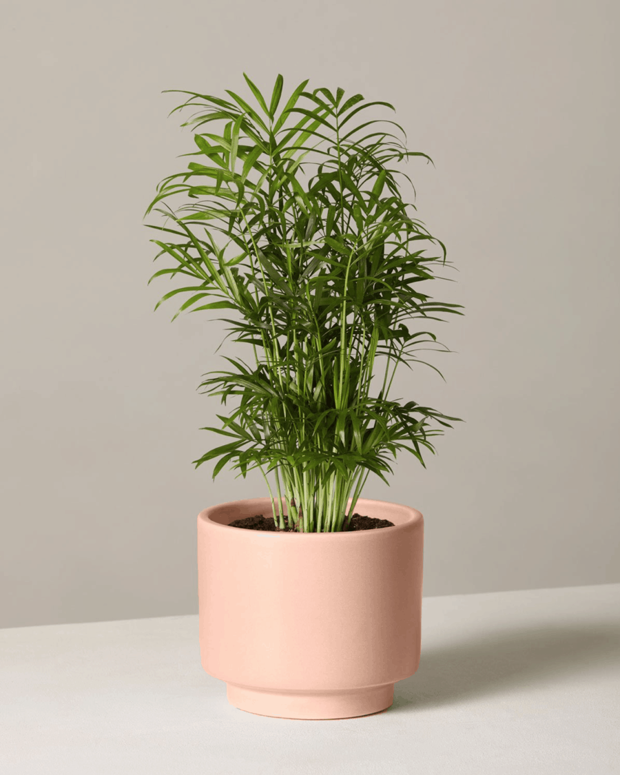 Indoor Areca Palm in a pink planter.
