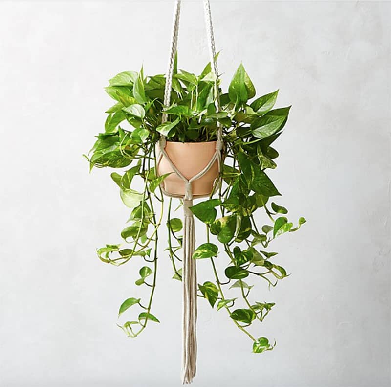 Hanging Pothos plant in a pink planter.