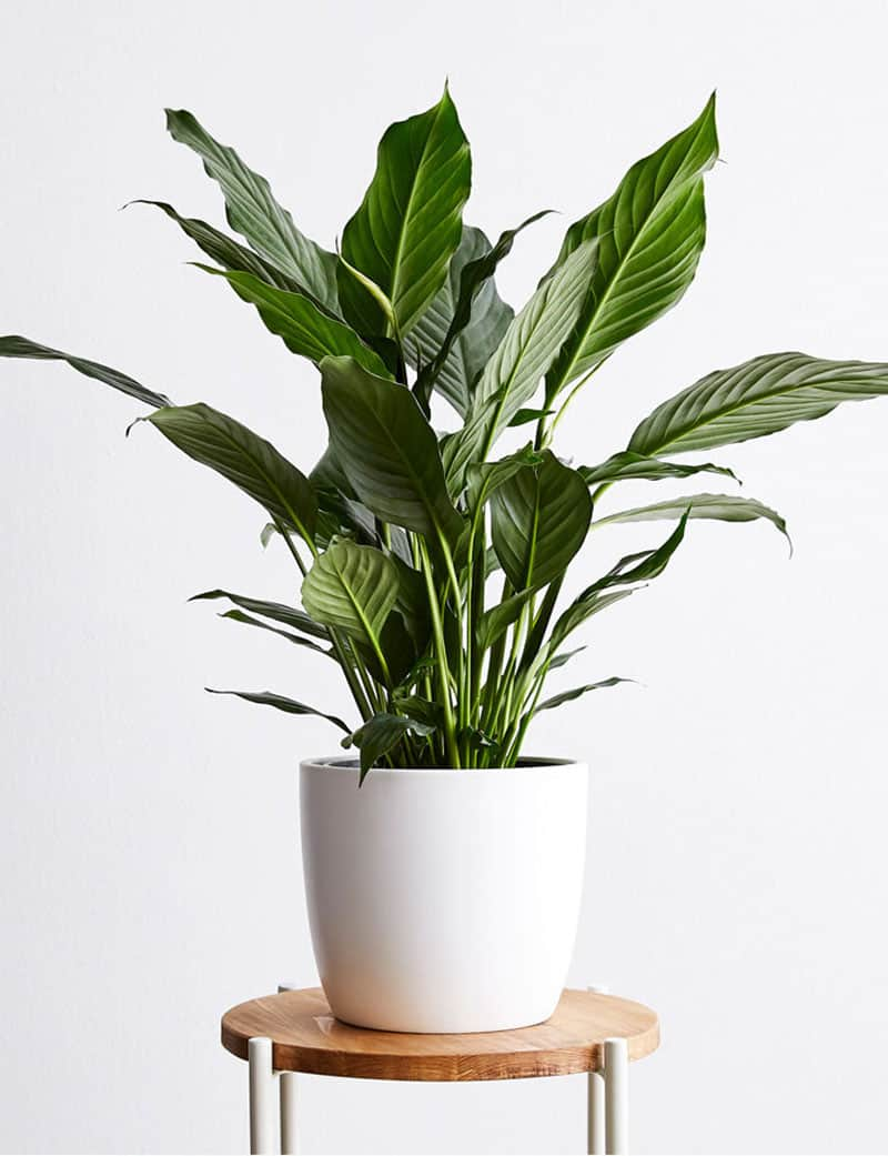 Peace Lily indoor plant in a white planter.