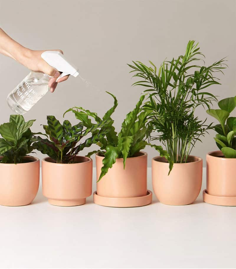 Indoor plants being sprayed with water in pink planters.