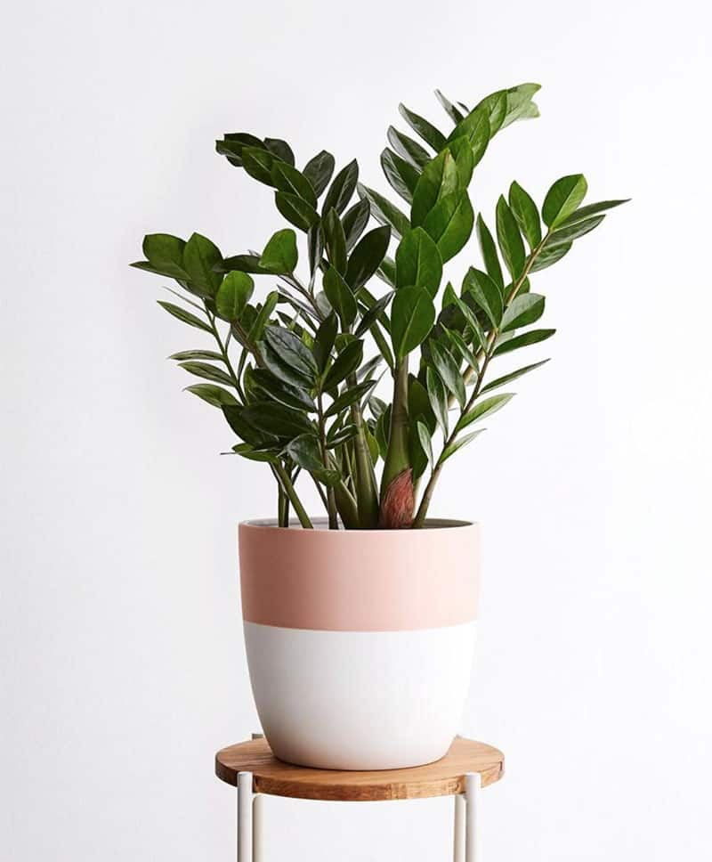 ZZ plant in a pink and white planter on a stool.
